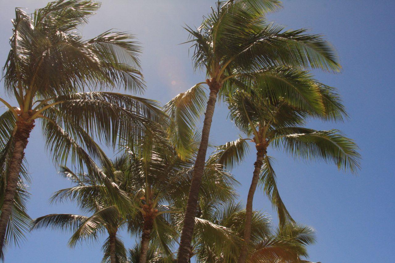 ワイキキビーチのヤシの木