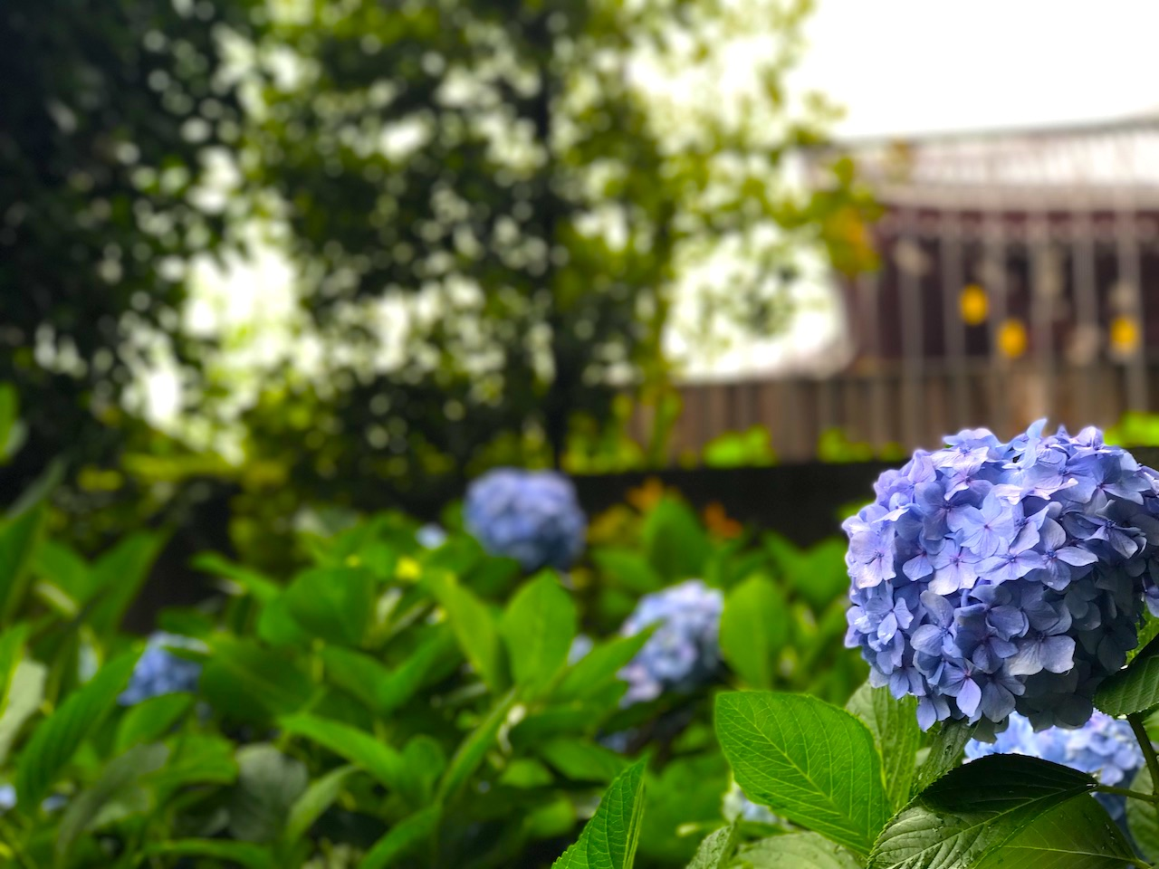 池上本願寺の紫陽花