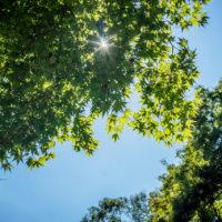 夏のモミジから日差す木漏れ日